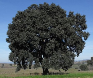 quercus_suber_tuscany.jpg